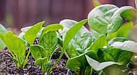 Боа (25 000шт) - Насіння шпинату, Rijk Zwaan