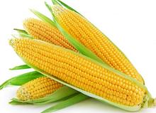 Насіння кукурудзи ОРЖИЦЯ ФАО 237 Скай Агро