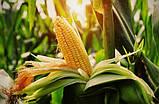 Семена Кукурузы ХОТИН (ФАО 250) фр.2,3 2020 г.у. Союзагротрейд, фото 2