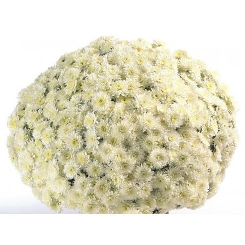 Хризантема Матина белая