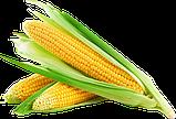 Семена Кукурузы ДН АКВАЗОР (ФАО 320) 2019г.у (24,2кг), фото 2