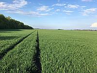 Семена пшеницы твёрдой яровой Династия, элита