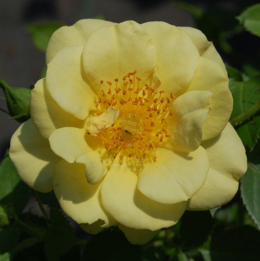 Роза Биненвайде Гелб (Bienenweide Gelb) почвопокровная