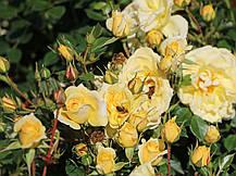 Роза Биненвайде Гелб (Bienenweide Gelb) почвопокровная, фото 3