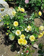 Роза Биненвайде Гелб (Bienenweide Gelb) почвопокровная, фото 2
