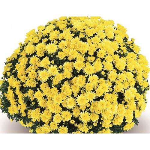 Хризантема Тирана желтая