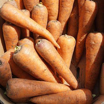 СВ 7381 ДХ F1 (200 000шт) 2,0-2,2мм - Насіння моркви, Seminis