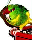 Папуги (Какарики) - домінантний строкатий., фото 4