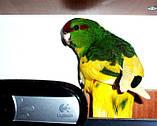 Папуги (Какарики) - домінантний строкатий., фото 5