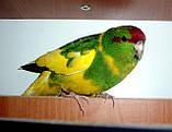 Папуги (Какарики) - домінантний строкатий., фото 6