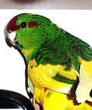 Папуги (Какарики) - домінантний строкатий., фото 8