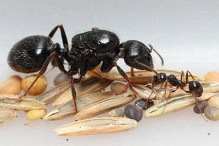 """Средняя муравьиная колония """"Муравей Жнец"""" Messor Structor (Мессор Страктор): от 5 до 10 муравьев"""