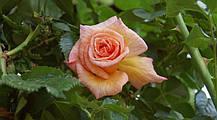 Роза Барок (Barock) Плетистая, фото 3