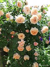 Роза Барок (Barock) Плетистая, фото 2