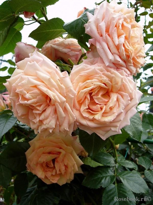 Роза Барок (Barock) Плетистая