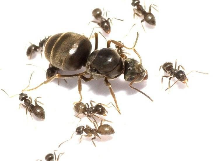 """Стартовая колония """"Садовый муравей"""" Lasius Niger (ласиус Нигер). Без муравьев"""