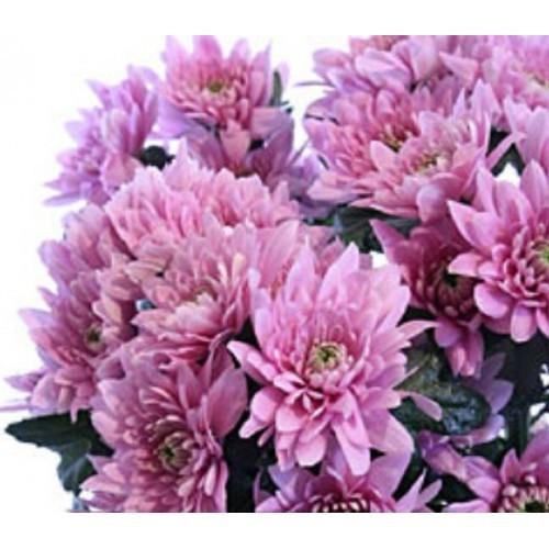 Хризантема Мондо