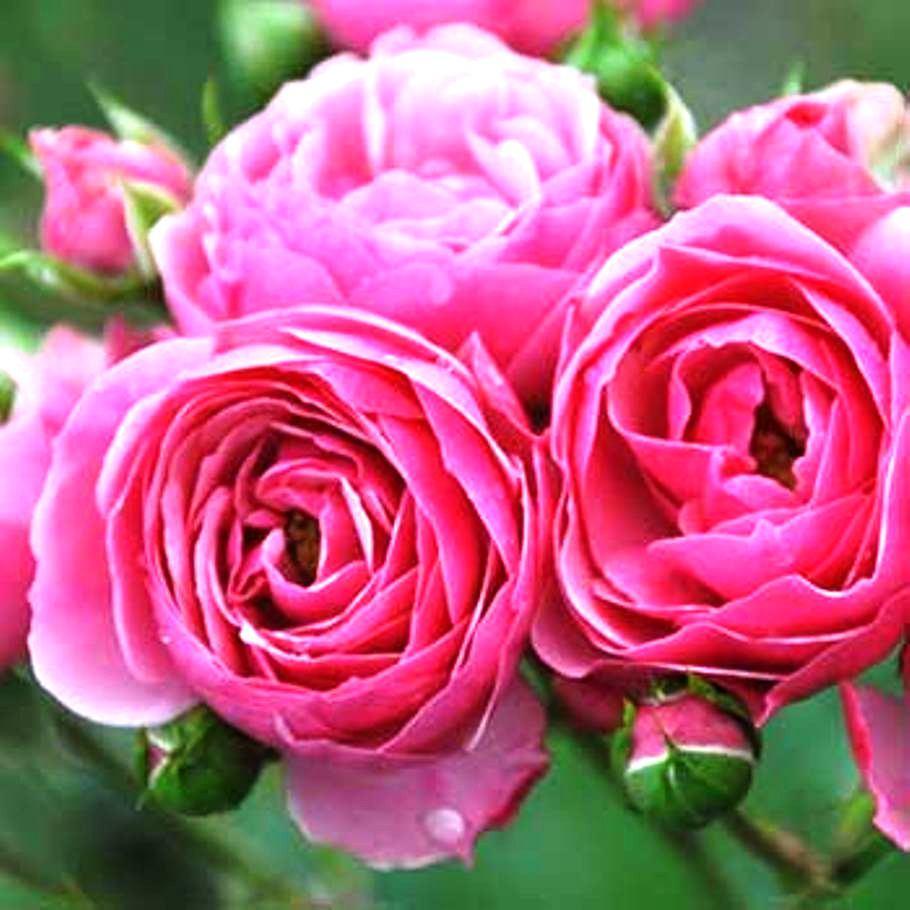 Саженцы розы - спрей Кенди (Candy)