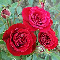 Роза - спрей Мирабель (Mirabel)