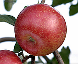 Яблоня Кику 8. (Б7-35). (ввв/кр). Зимний сорт, фото 2