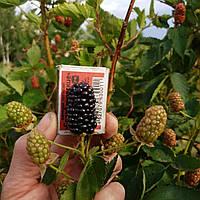 Ежевика ремонтантная Черная магия - крупная, сладкая ягода