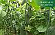 Семена огурца SV 4097 CV F1 \ СВ 4097 F1 250 семян Seminis, фото 5