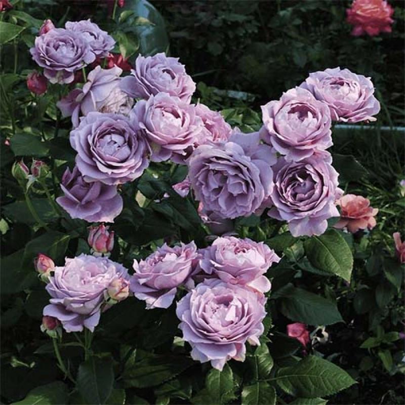 Саджанці троянди флорибунда Новаліс (Rose Novalis)