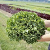 КАНКАН (5г) — салат, Hazera