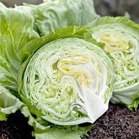Насіння салату Вісмар (1000шт) Hazera