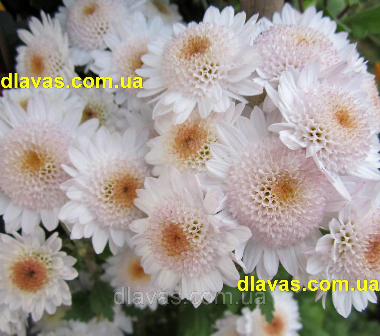 Хризантема гілкова Медея