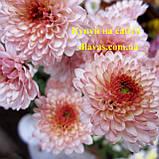 Хризантема корейська Дюймовочка, фото 2
