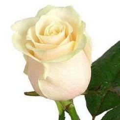 """Троянда чайно-гібридна """"ВЕНДЕЛЛА"""" ('Vendella')"""