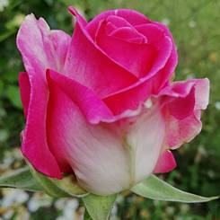 """Троянда чайно-гібридна """"ВЕРДІ"""" ('Verdi')"""