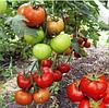 БАРАКУДА F1 - семена томата, Lark Seed 250 семян