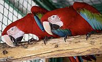 Зеленокрылый ара. Ручные малыши выкормыши. Ara chloroptera.