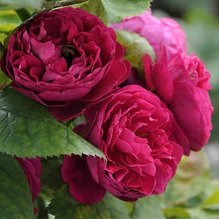 Саженцы парковой розы - Бисэнтэнер де Гийо (Bicentenaire de Guillot)