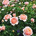 Саджанці кущової троянди Елізабет Стюарт (Elizabeth Stuart), фото 2