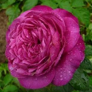 Саженцы почвопокровной розы Сублиме (Rose Sublime)