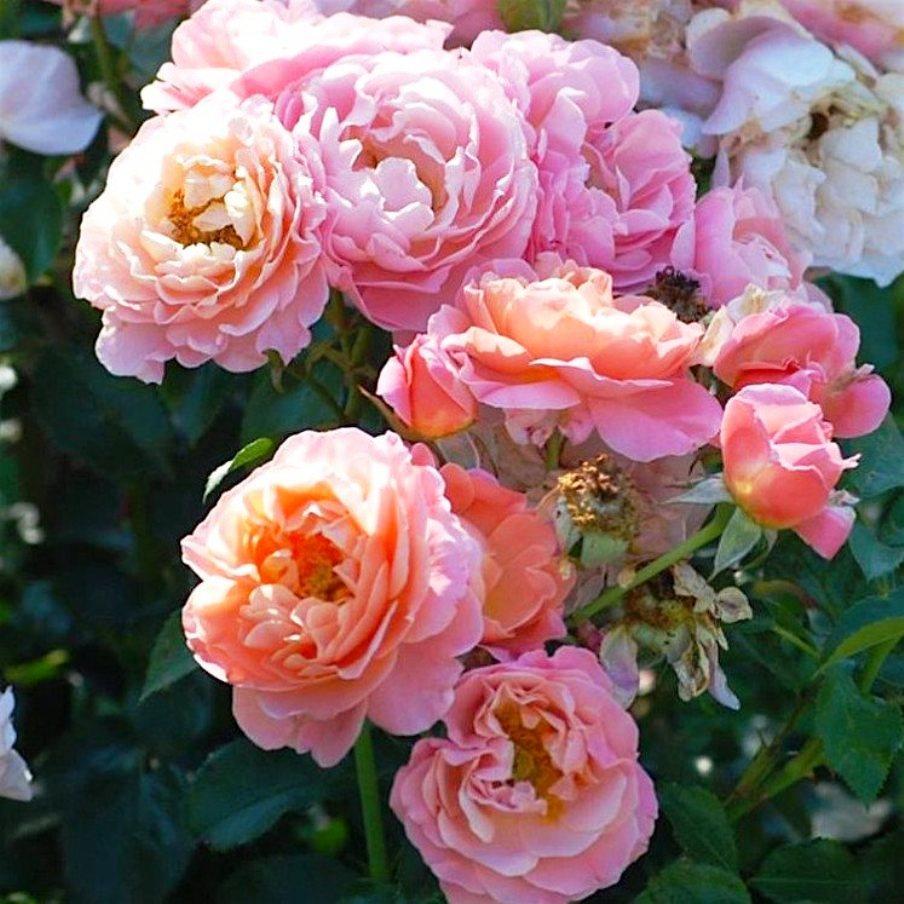 Саженцы розы - парковой Мари Кюри (Marie Curie)