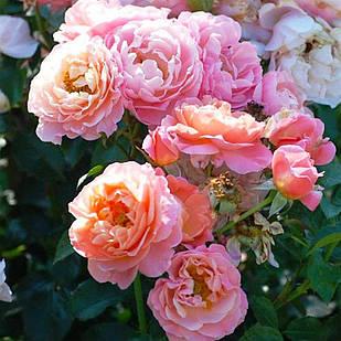 Саженцы парковой розы Мари Кюри (Marie Curie)