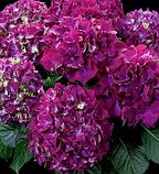 Гортензия крупнолистная Hot Red Purple горшок С2, фото 4