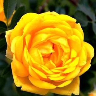 Саженцы парковой розы Персион Елоу (Persian Yellow)