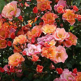 Саженцы почвопокровной розы Джаз (Rose Jazzz)