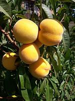 Саженцы персика: сорта среднего срока созревания