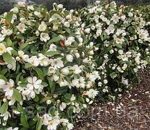 Магнолия Fairy Cream' Blush (Фейри Крим Блаш) гор С1 вечнозеленая