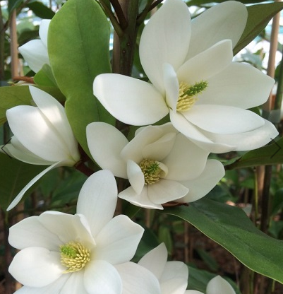 Магнолія 'Fairy White'®Blush (Фейрі Вайт Блаш) вічнозелена гір С1