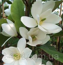 Магнолия 'Fairy White'®Blush (Фейри Вайт Блаш) вечнозеленая гор С1