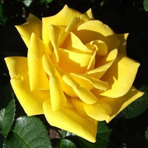 "Троянда чайно-гібридна ""СТАРЛАЙТ"" ('Starlite')"