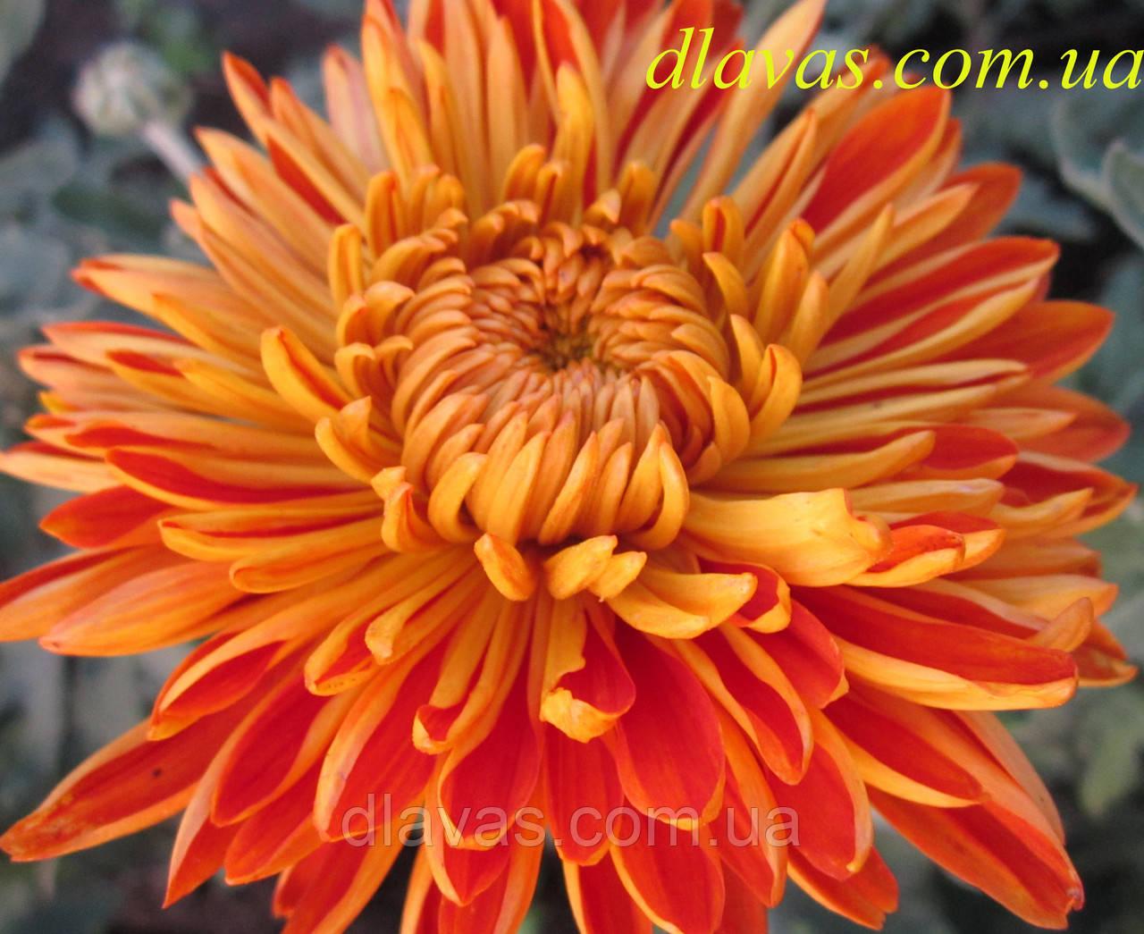 Хризантема крупноцветковая РАННЯЯ