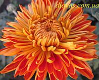 Хризантема крупноцветковая РАННЯЯ маточник